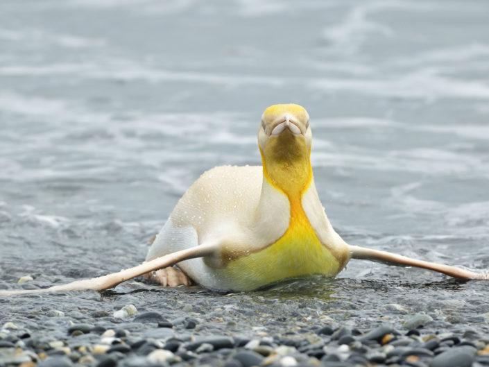 Ino penguin