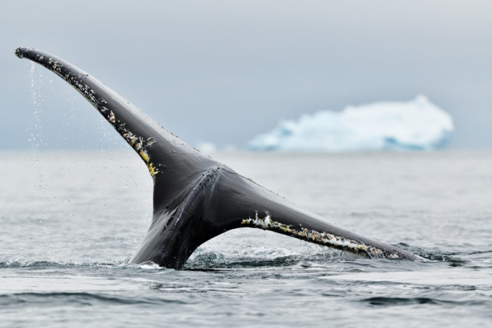Humpback whale taking a dive into the waters surrounding Enterprise Island. © YvesAdams